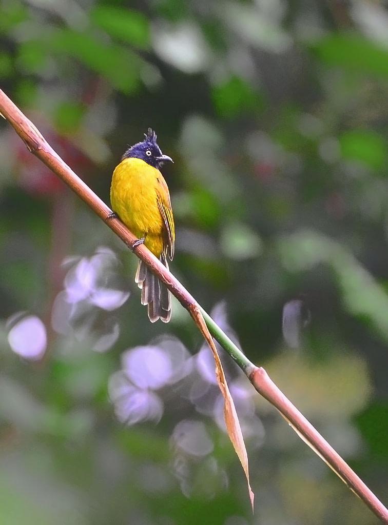Urban Wildlife, Black crested bulbul, Garbhanga Rserve forest
