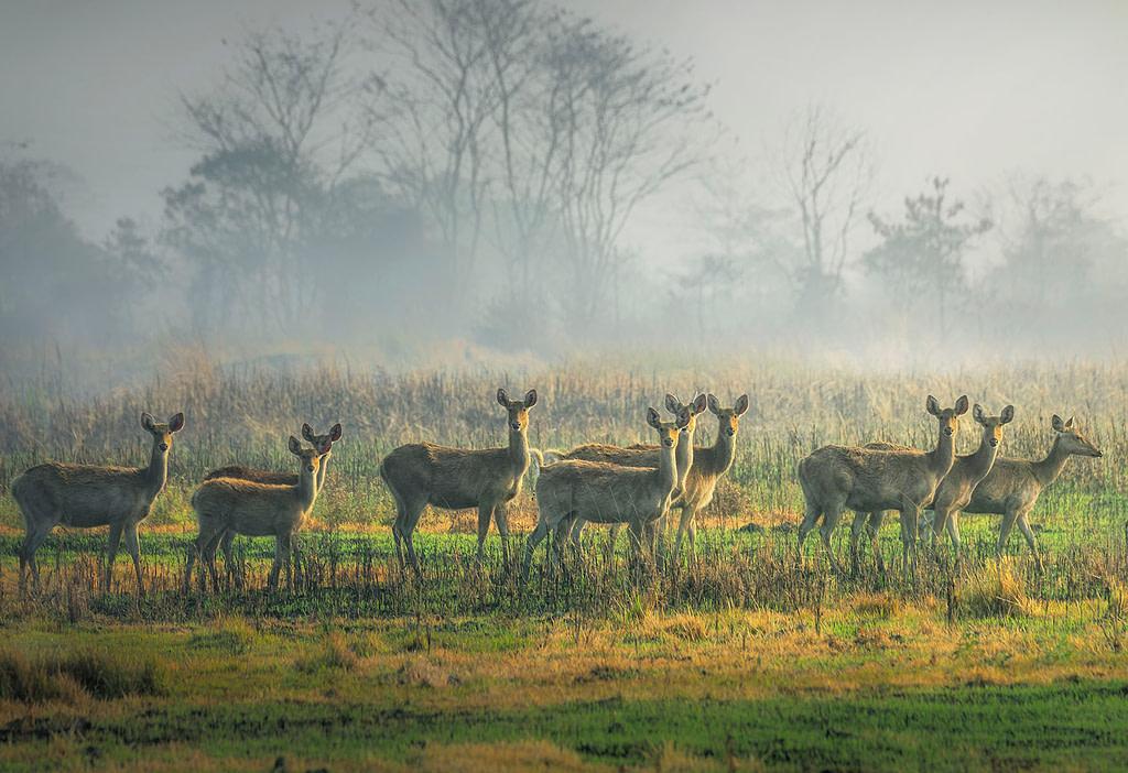 Kaziranga National Park, Eastern Swamp Deer, Assam National Park, Morning Safari in Kaziranga, Eastern Range, Agoratoli