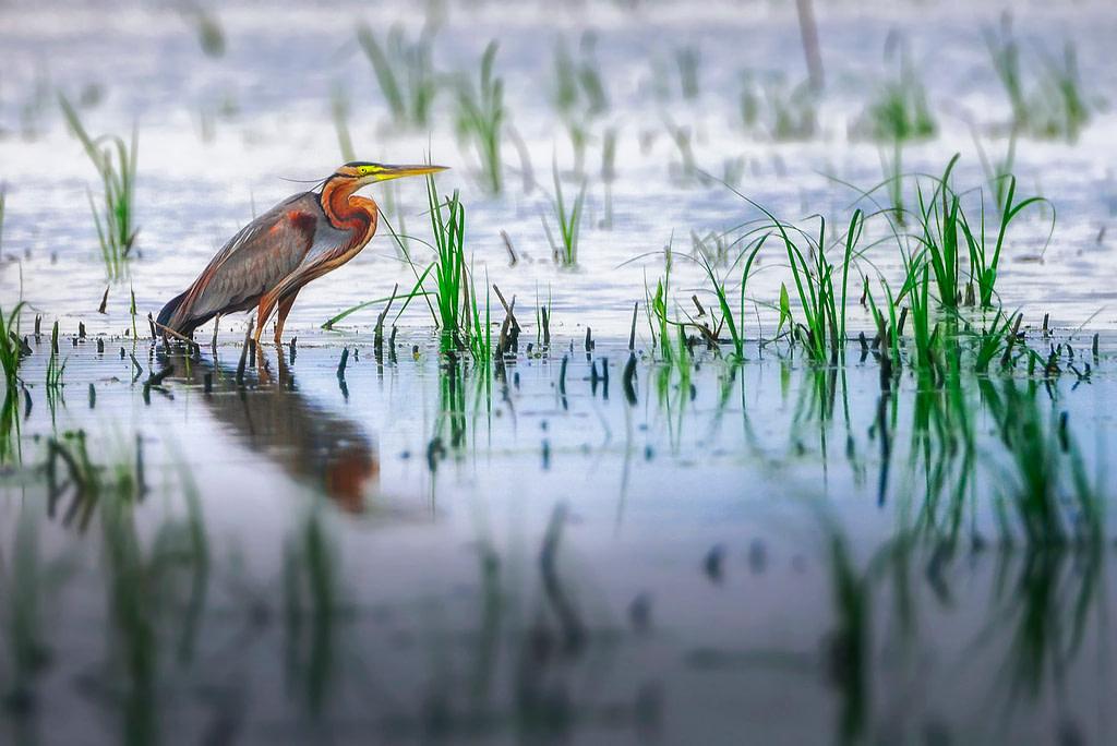 Avian Diversity of Assam, Wtlands of Assam