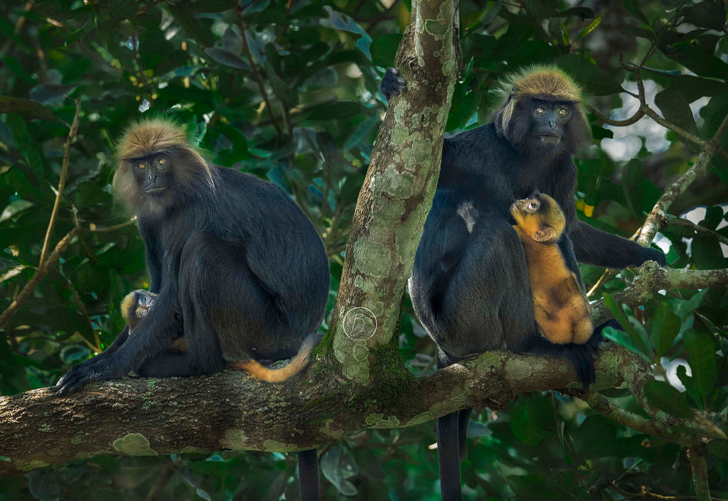 A pair of female Nilgiri Langur with their newborns.