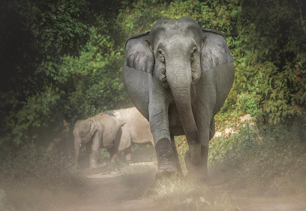 Indian Elephant, Elephants of Assam, Wildlife