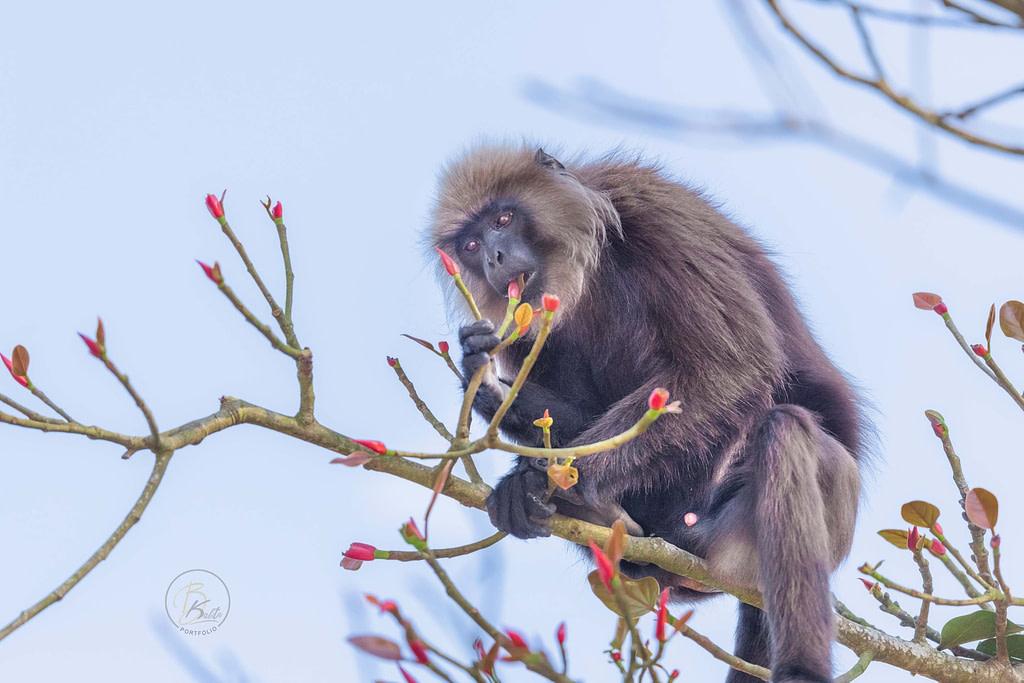 Nilgiri Langur feeding on tree