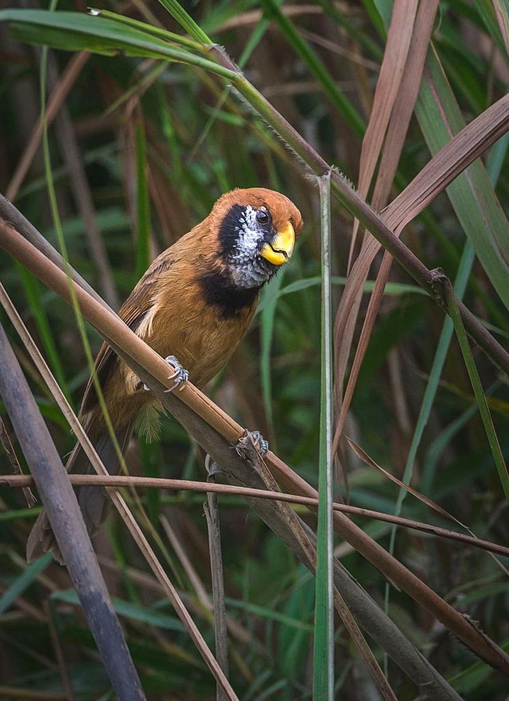 Black breastred Parrot bill, Endangered Bird, grass land bird, grassland buring, Kaziranga National Park