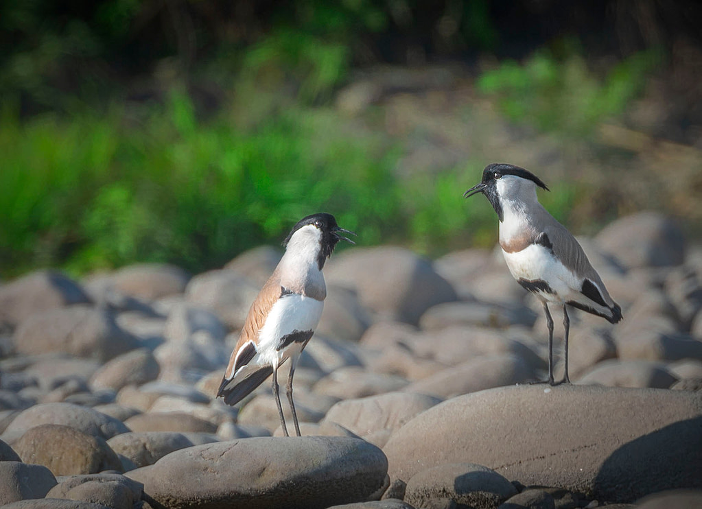 Nameri National Park, River Jiya Bhorelli , Migratory birds of Assam
