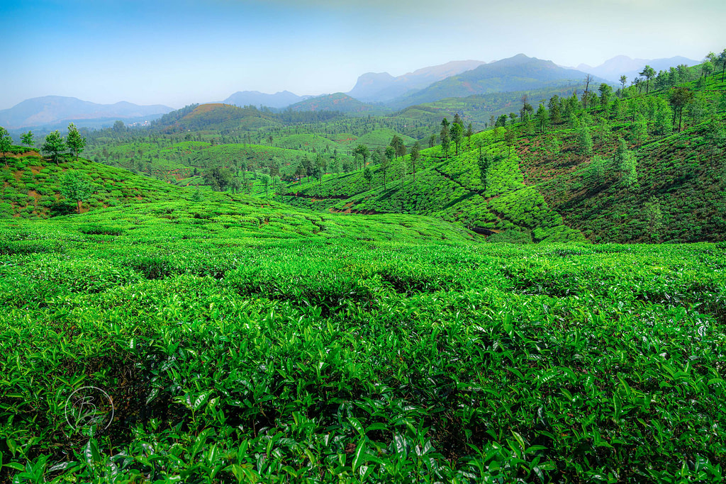 Tea Gardens of Valparai